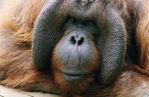 Stock Photo: 805-6615A Close-up of an orangutan