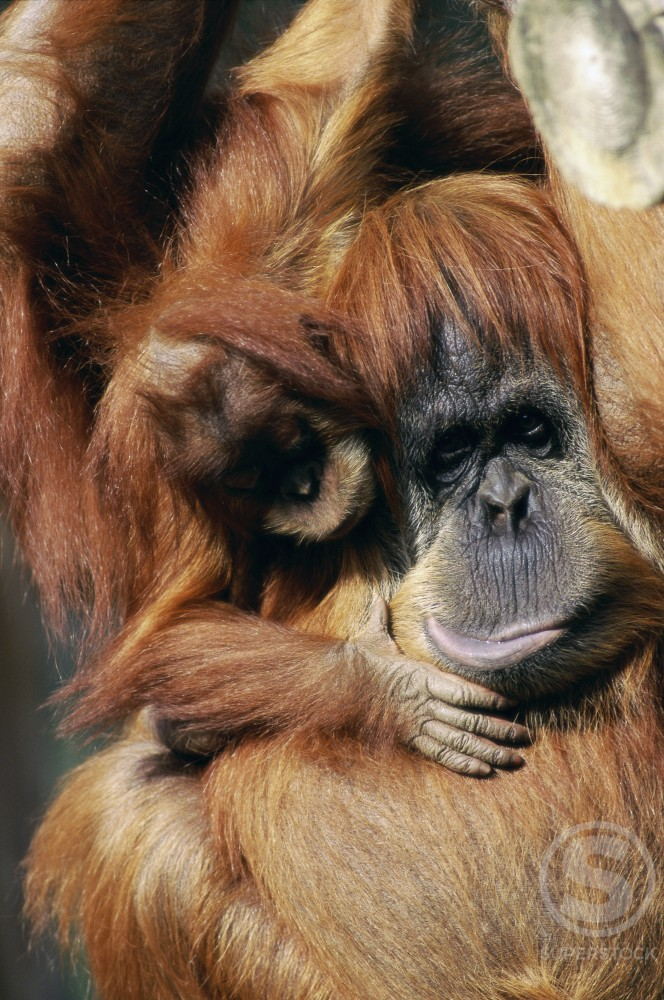 Stock Photo: 805-6691 Orangutan