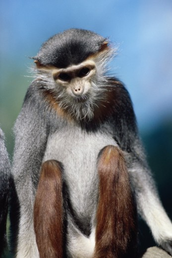 Stock Photo: 805-6869 Douc Langur