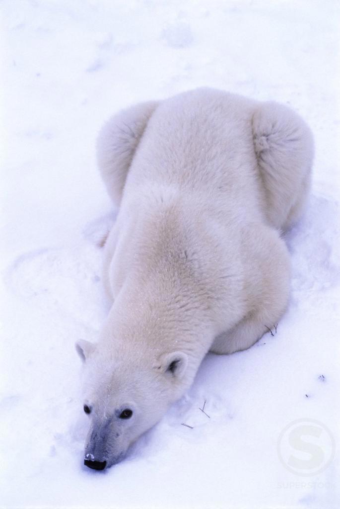 Stock Photo: 805-7180 Polar Bear Churchill Manitoba Canada