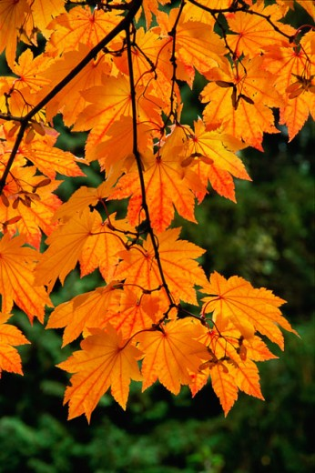 Stock Photo: 805-7379B Close-up of leaves on a maple tree