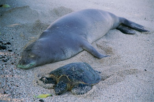 Stock Photo: 805-7561 High angle view of Hawaiian Monk Seal with Green Turtle relaxing on the sand