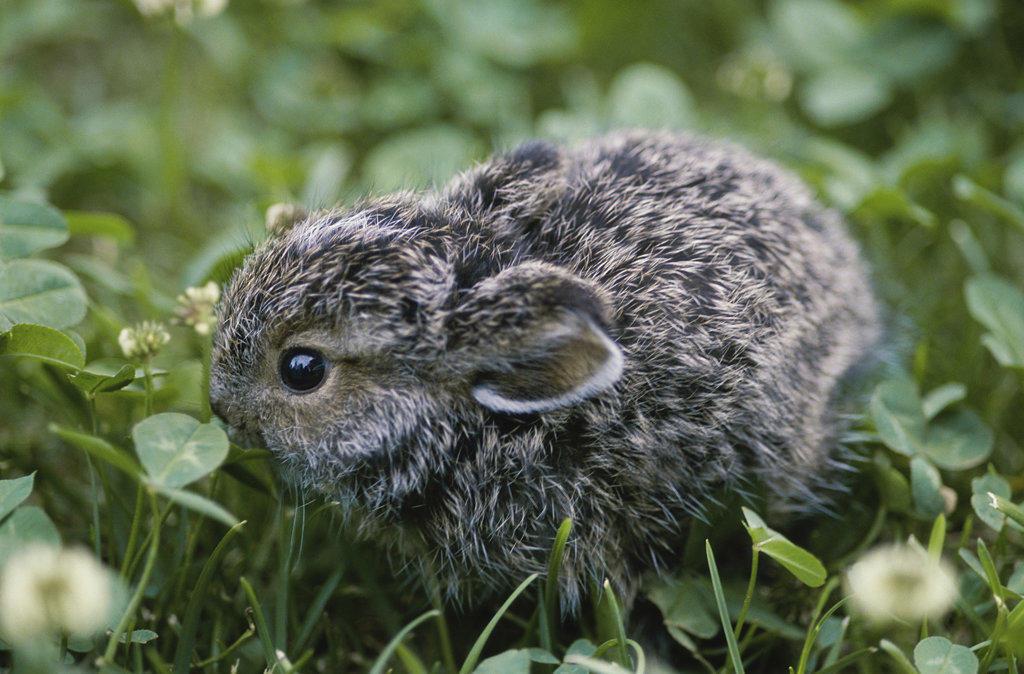 Snowshoe Hare, Alaska, USA : Stock Photo