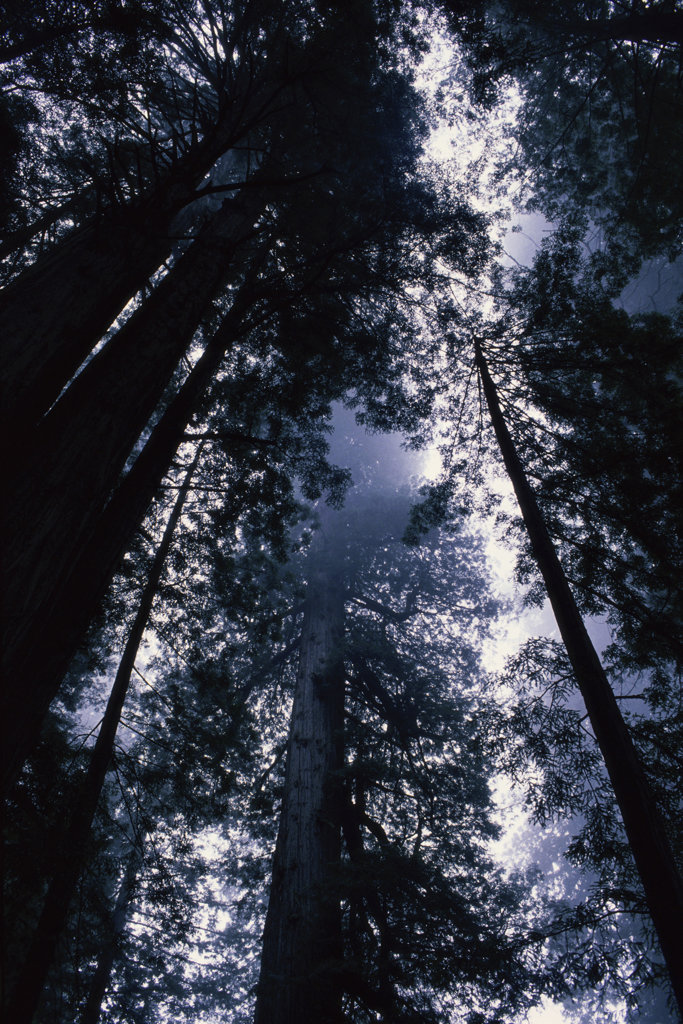 Low angle view of trees in a forest, James Irvine Trail, Redwood National Park, California, USA : Stock Photo