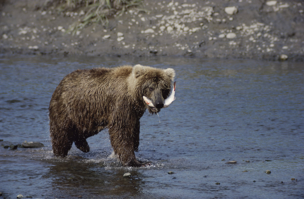 Stock Photo: 805R-3017 Brown Bear walking in a river with a fish in its mouth, Alaska, USA
