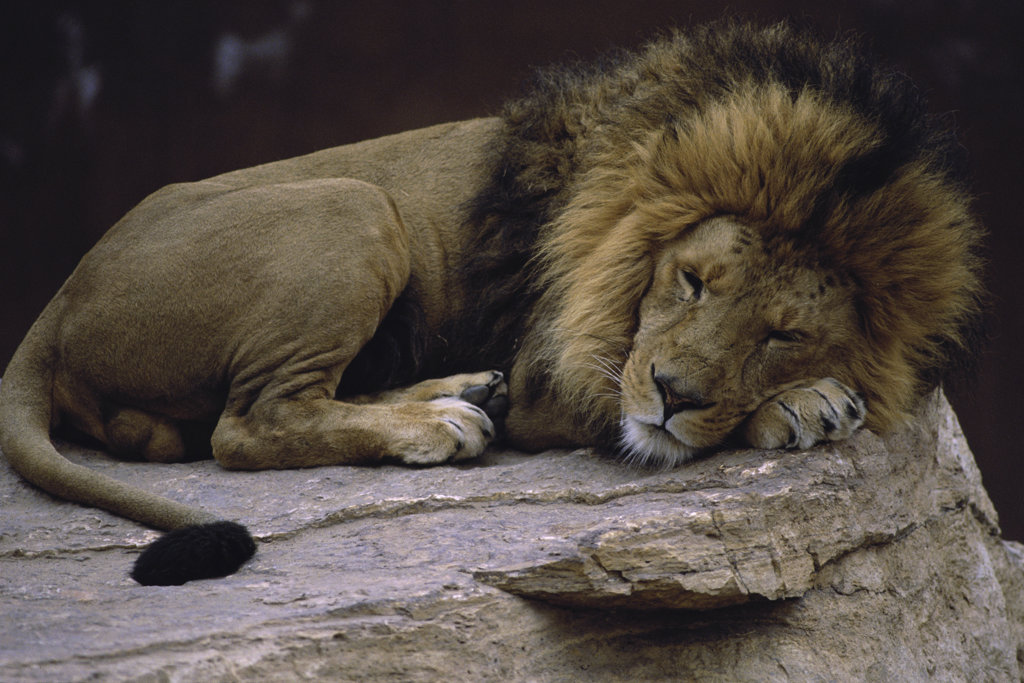 Close-up of a lion lying on a rock, Albuquerque Zoo, New Mexico, USA : Stock Photo