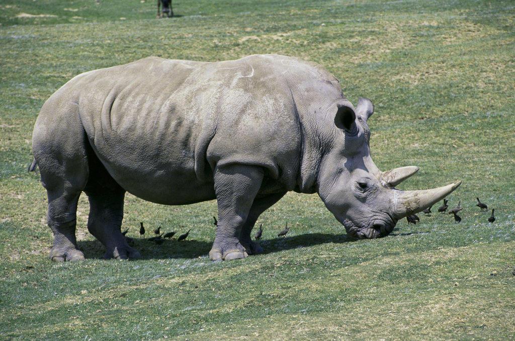 Stock Photo: 805R-4143 Rhinoceros grazing in a field, Wild Animal Park, San Diego Zoo, California, USA