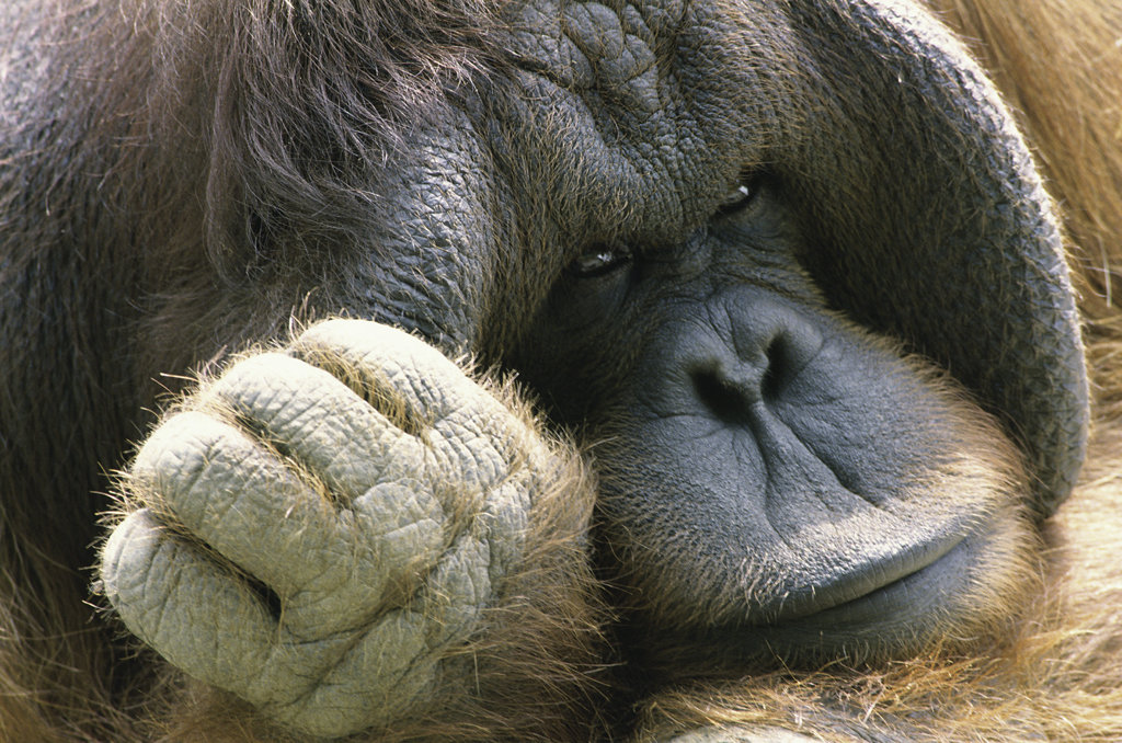 Close-up of an orangutan : Stock Photo