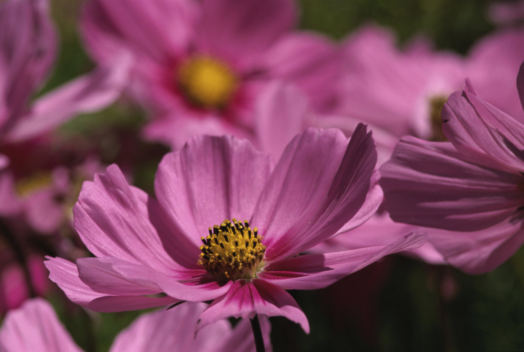 Stock Photo: 805R-7281 Close-up of cosmos flowers, Ashland, Oregon, USA