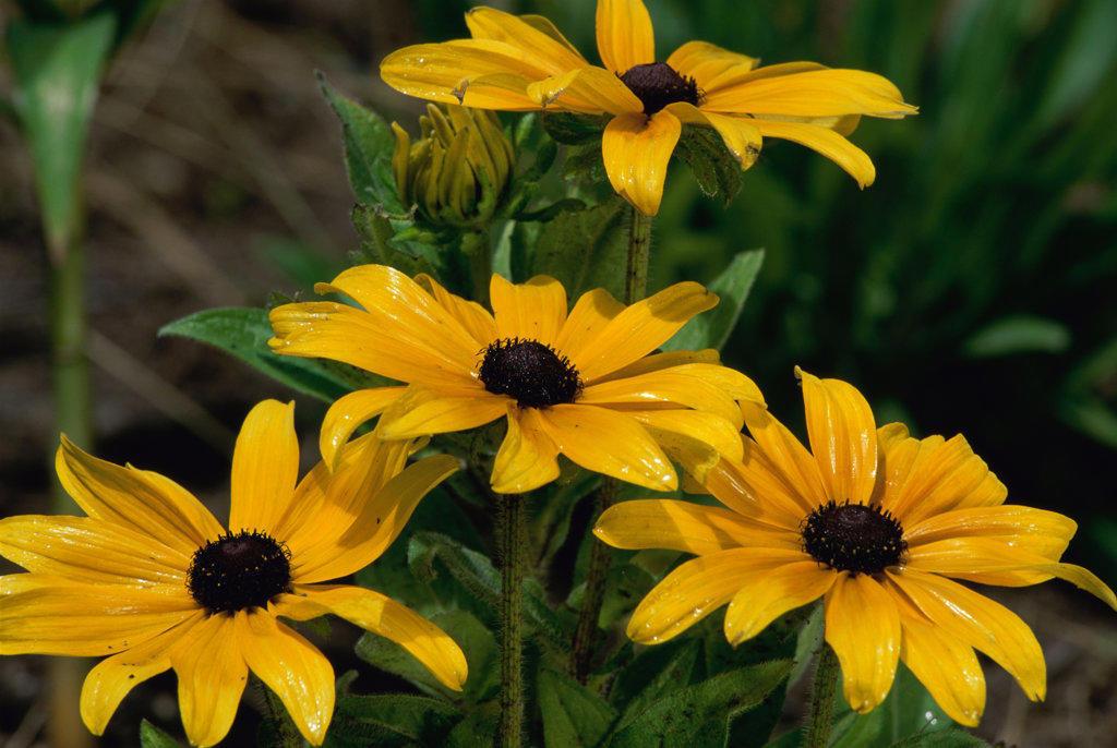 Close-up of Black-Eyed Susans, Oregon, USA (Rudbeckia hirta) : Stock Photo