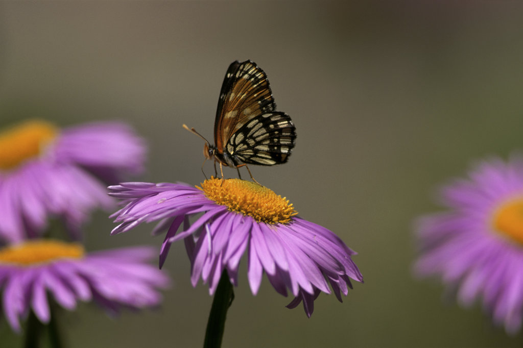 Stock Photo: 805R-7285 A Chackerspot Butterfly on an aster plant, Oregon, USA