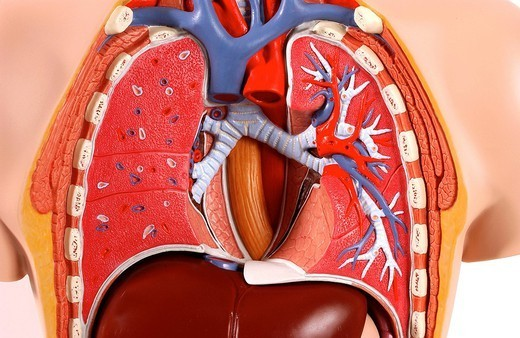 LUNG, ANATOMY. Model of the intern anatomy of the chest of an asexual adult human body, face on. The heart withdrawal makes visible the right and left main lung bronchi in light blue, first branching of the aerial respiratory tract. The bronchial tree in white, sho : Stock Photo