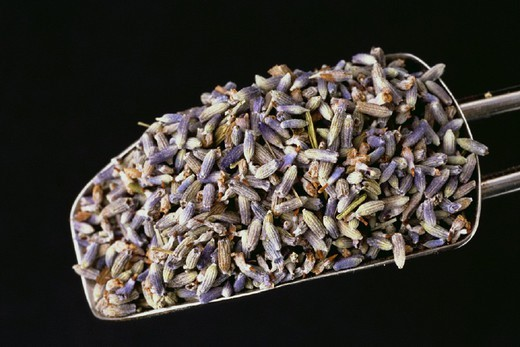LAVENDER. LAVENDER Lavendula officinalis. : Stock Photo