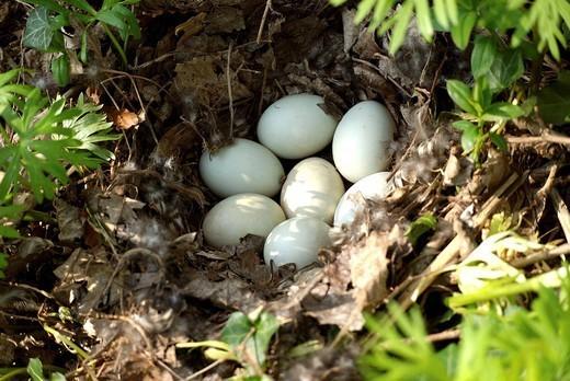 DUCK EGG. Eggs of mallard Anas platyrhynchos. : Stock Photo
