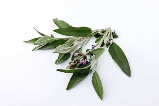 COMMON SAGE. Common sage Salvia officinalis. Belongs to the Lamiaceae family. Grouped purple_blue flowers , furry oval leaves, gray_green. : Stock Photo