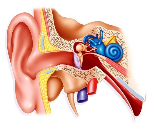 Stock Photo: 824-104062 INTERNAL EAR, DRAWING. INTERNAL EAR, DRAWING Anatomy of the ear.