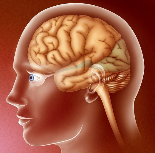 SIGHT. SIGHT Illustration of the visual areas of the brain shown in profile in a male skull. : Stock Photo