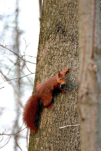 EURASIAN RED SQUIRREL. Eurasian red squirrel Sciurus vulgaris, picture taken in Oise Picardy, France. Sciurus vulgaris  Eurasian red squirrel  Arboreal squirrel  Squirrel  Sciurid  Rodent  Mammal : Stock Photo