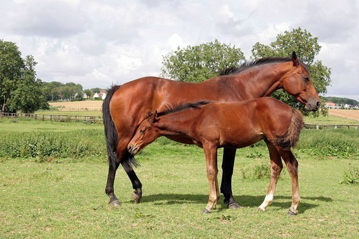 FRENCH SADDLEBRED HORSE. French saddle horse : mare and her foal Picardy, Oise, France. Bread : French saddlebred. Horse Equus caballus  Equine  Mammal. : Stock Photo