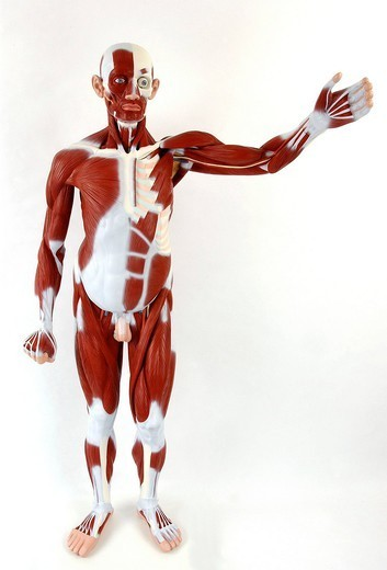 Stock Photo: 824-108780 ANATOMY, MUSCLE. Anatomic model of the muscular system of an adult man face on. The main superficial skeletal muscles are depicted in burgundy for the whole body. The left half of the thorax shows the deep muscles. The fasciae, fibrous membranes covering and separatin