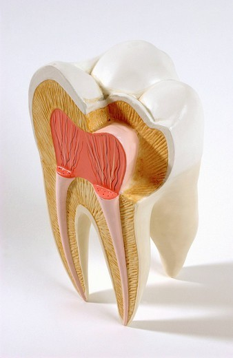 ANATOMY, TOOTH. Anatomic model of an human upper molar in frontal section. The upper molar, located in the back of the jaw, chews and grinds food, it has for that four cusps. It is inserted in the gum by three roots. A tooth is outwardly composed of two parts: the cr : Stock Photo