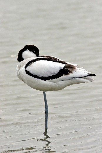 PIED AVOCET. Pied Avocet Pied avocet Recurvirostra avosetta in the Somme bay in Picardy, France. Recurvirostra avosetta  Pied Avocet  Avocet  Recurvirostrid Limicole  Wading bird  Bird Wading birds usually have long paws and have the body covered with feathers , These feathers are used to protect from cold. As their paws are featherless, wading birds get warm by folding one of their paws and hide it in their plumage. Thus, wading birds that are sensible to cold, try to limitate as much as possib : Stock Photo
