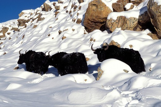 YAK. Yak Winter trekking at the village Tingri near the southern frontier of Tibet and the norther frontier of Nepal at the monastery Rongbuk at the foot of the northern face and the camp at the basis of the Everest Chomolungma in Tibetan. Yaks in the Tsang region in winter. : Stock Photo