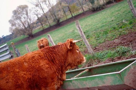 Stock Photo: 824-110735 COW