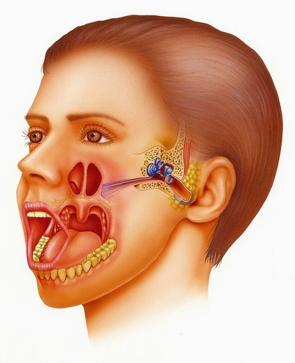 ENT, ILLUSTRATION. ENT, ILLUSTRATION Illustration of the ear-nose-throat area (ENT). Highlighted here: the oral cavity, posterior orifices of the nasal cavities opening into the pharynx, and the openings to the Eustachian tubes and the ear. : Stock Photo