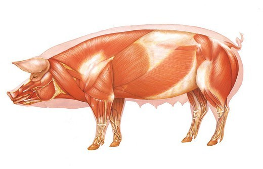 Stock Photo: 824-114124 PIG ANATOMY, DRAWING. Cutaway view of a pork.