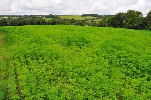 HEMP GROWING. Culture of hemp Cannabis sativa. : Stock Photo