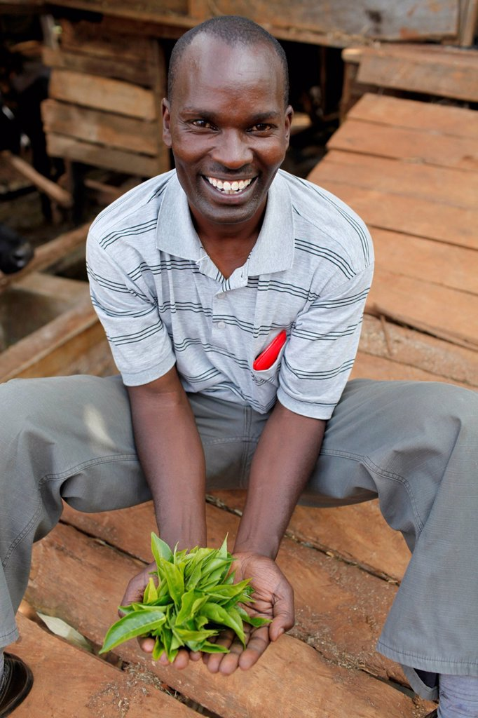 Stock Photo: 824-117677 David Mucangi Mbogoh showing tea leaves runs a farm financed by a loan from BIMAS microcredit. He has been a client since 2002 and is currently servic...