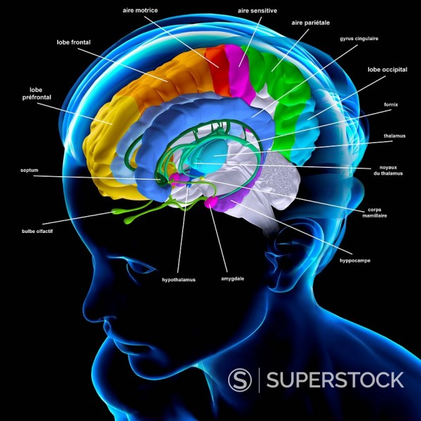 Anatomy Of The Brain Anatomy Of The Brain The Fornix Green The