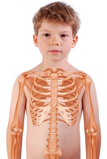 SKELETON, TRUNK. SKELETON, TRUNK Rib cage in a 6_year_old boy. : Stock Photo