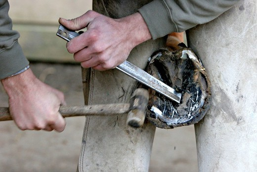 BLACKSMITH FARRIER. Itinerant blacksmith farrier : cleaning of the hoof so as to place a new horseshoe on a planner surface Oise, Picardy, France. : Stock Photo