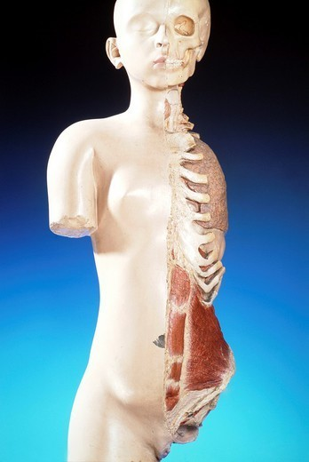 Stock Photo: 824-21085 ANATOMY. ANATOMY Cast of a woman´s trunk with the rib cage, left side open. Sulcus of the left lung (side view).  Copies  of castings done by A. Nicolas. The originals are at the Paris Museum of Medicine.