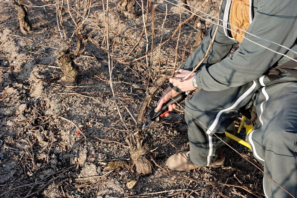 Stock Photo: 824-21712 GRAPEVINE PRUNING