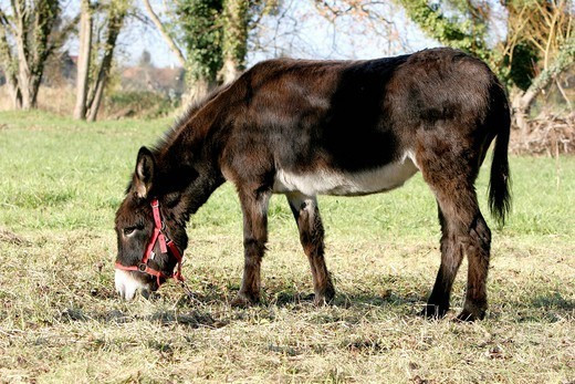 Stock Photo: 824-21824 DOMESTIC DONKEY. Domestic donkey Equus asinus asinus in Oise Picardy, France. Equus asinus asinus  Domestic donkey  Equus asinus  Donkey  Equid  Mammal.
