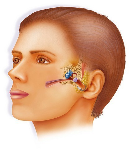 Stock Photo: 824-22313 INTERNAL EAR, DRAWING