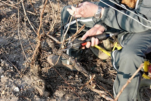 Stock Photo: 824-22322 GRAPEVINE PRUNING