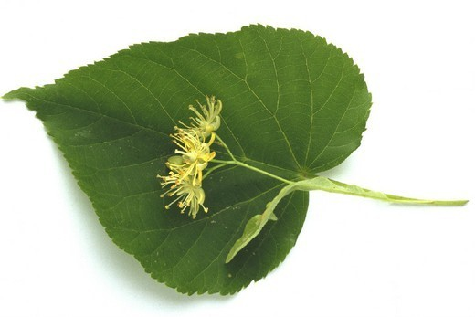 Stock Photo: 824-23182 LIME TREE