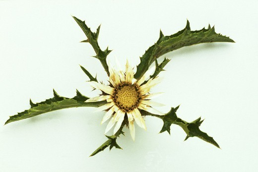 Stock Photo: 824-23769 CARLINE THISTLE. CARLINE THISTLE Carlina acaulis.
