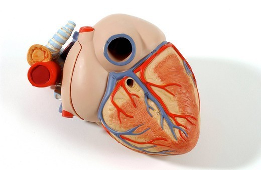 HEART, ANATOMY. Model of the superficial anatomy of the heart of an adult human body posterior oblique view. The heart contains four cavities: two atriums in its upper part, and two ventricles in its lower part. The ventricles in light orange have superficial groove : Stock Photo