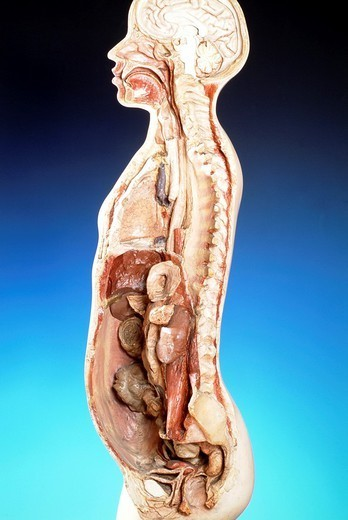 ANATOMY. ANATOMY Cast of a man´s trunk with the rib cage, left side open. Following removal of the heart, liver, stomach, spleen and a large part of the intestines, the internal wall of the right lung, duodenal  loop and pancreas, male genital and urinary organs (side view).  Copies  of castings done by A. Nicolas. The originals are at the Paris Museum of Medicine. : Stock Photo