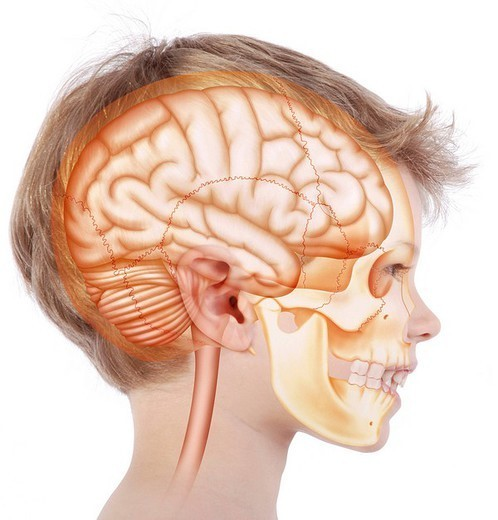Stock Photo: 824-29279 HEAD, DRAWING. Skull in a 6_year_old child. Representation, in the face of a 6_year_old child in profile view, of the skull in oranged_yellow inside which is located the brain in orange : right cerebral hemisphere, cerebellum at the bottom and at the back of the brain stem towards the bottom, followed by the spinal cord that exits from the lower part of the skull through the occipital hole.