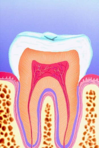 Stock Photo: 824-32672 TOOTH, DRAWING. The teeth are hard structures composed of dentin and enamel which in humans grown out of the edges of the jaws. They are used to tear and chew food. There are four types of teeth: incisors, canines, pre_molars and molars. The chewing surface is covered wi