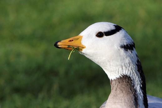 BAR HEADED GOOSE. Bar_headed goose Bar_headed goose Anser indicus, Picardy, France. Anser indicus  Bar_headed goose  Goose  Anatid  Palmiped  Bird : Stock Photo