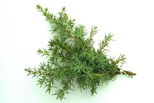Stock Photo: 824-34826 JUNIPER. JUNIPER Juniperus communis.