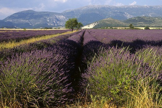 LAVENDER PLANTATION : Stock Photo