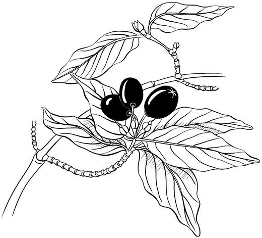 MALE DOGWOOD, DRAWING. MALE DOGWOOD, DRAWING Male cornelian cherry dogwood leaves (Cornus mas). : Stock Photo
